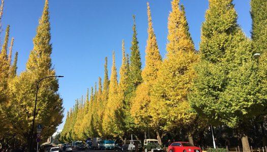 外苑いちょう並木がいい感じに色付いてきました。いちょうは紅葉じゃなくて黄葉です。
